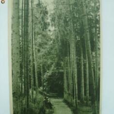 Carti Postale Romania dupa 1918 - Bazna - Aleea cu brazi (RPR), vedere / ilustrata / carte postala circulata, cu timbru