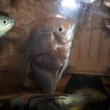 Specii pesti - Vand pesti exotici guramy albastri, guramy lerii, scalari, marimi XXL