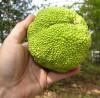 Seminte Macula pomifera - Osage orange