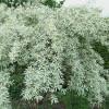 Salcioara - Eleagnus Angustifolia - 10 seminte