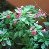 Plante ornamentale de apartament, Planta de interior sporul casei