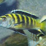 Ciclide africane Malawi pui si maturi - Specii pesti, Cichlidae