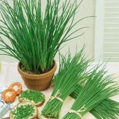 ARPAGIC - Allium schoenoprasum – 3 lei