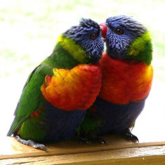 Papagal, Vorbitor - Vand Guraliva Lory
