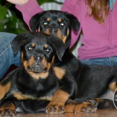 Caine, Rottweiler - Rottweiler de vanzare