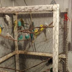 Papagal, Perusul - Perusi tineri si perechi