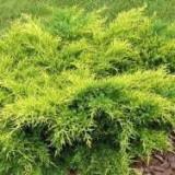 Juniperus pf. Old Gold – ienupar galben