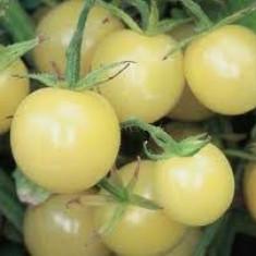 """Seminte rosii """" White Cherry """""""