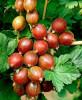 Arbusti fructiferi - Agris rosu