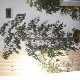 Ficusi naturali