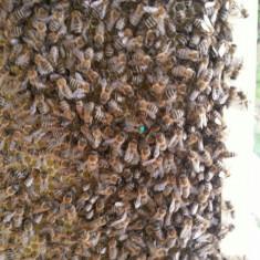 Vand 10 familii sau 10 roi de albine - Apicultura