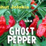 Seminte ardei iute - Ardei iute Record -Bhut Jolokia Ardei Fantoma - 5 seminte pentru semanat