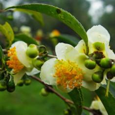 Ceai verde Camelia sinensis - 1 samanta pentru semanat - Ceai naturist