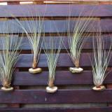 Plante ornamentale - Tillandsia bulbosa, caput medusae, juncea - plante aeriene, epifite