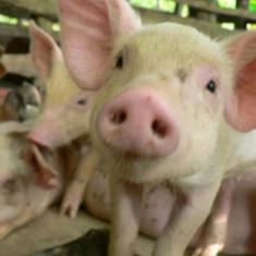 Rase porci - Porci si purcei