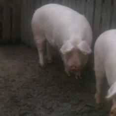 Rase porci - Vand porc