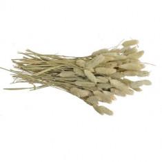 Plante decorative Belly - Tuia