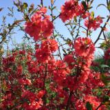 GUTUI JAPONEZ ( Chaenomeles japonica )