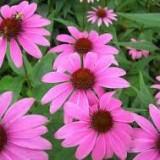 Echinacea purpurea Prairie Splendor Deep Rose – echinaceea roz