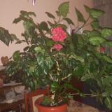 Trandafir Japonez Roșu