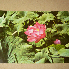 Baile Felix - nufar - india - flori 1975 - 2+1 gratis - RBK13065 - Carte Postala Crisana dupa 1918, Circulata, Fotografie