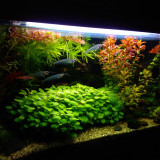 Plante ornamentale - Vând plante naturale de acvariu