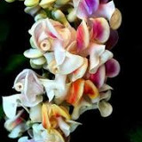 Seminte rare de Vigna Caracalla -Floarea melc 1 samanta pentru semanat