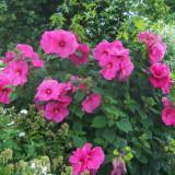 Seminte rare de Hibiscus Palustris -2 seminte pentru semanat -
