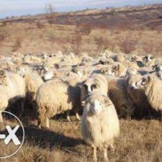 Oi/capre - Vand animale, oi si capre