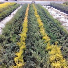 Tuia thuja gard viu plante suceava